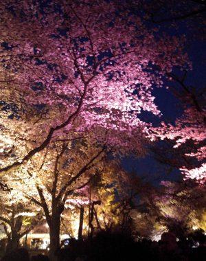 Cherry Blossom Festival Nijo Castle